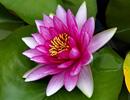 神圣之花睡莲