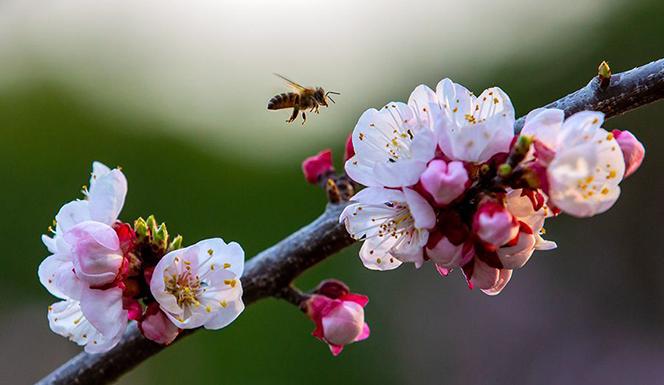 杏花渐开蜂自舞