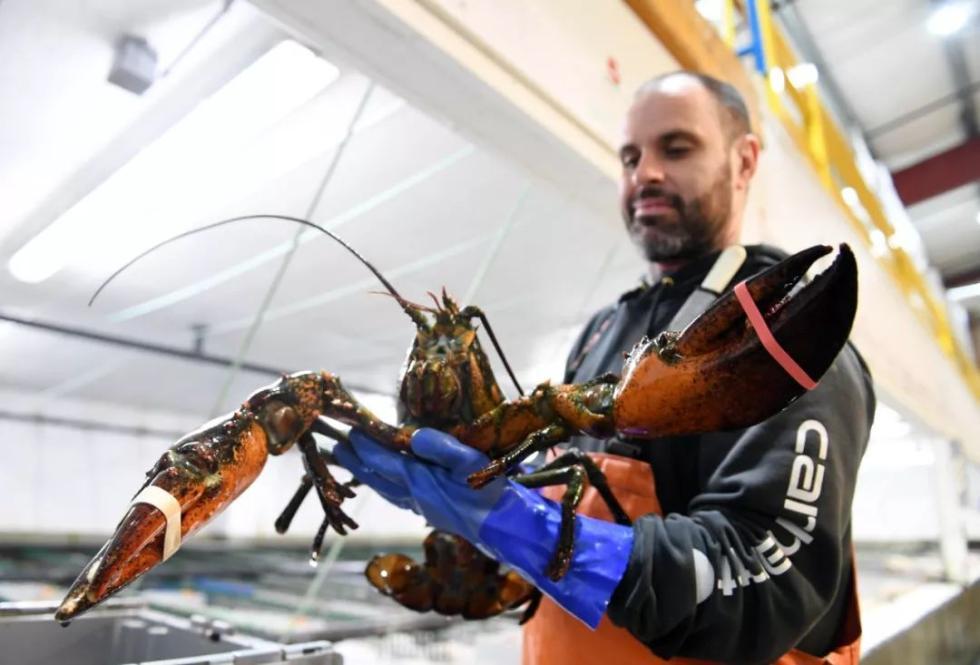 2017年3月29日,在美国缅因州波特兰附近的海岸龙虾公司,工人展示一只龙虾。 新华社记者殷博古摄