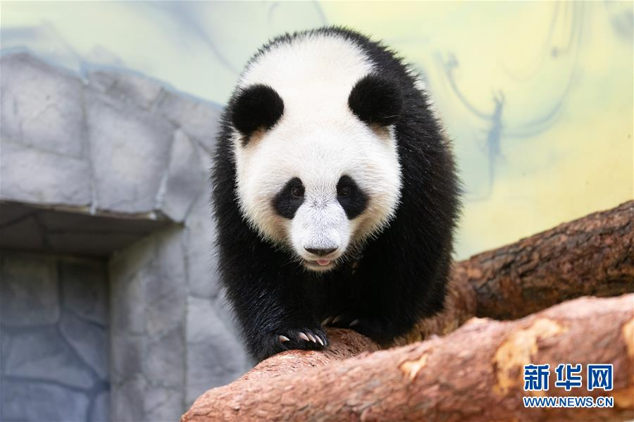 """2019年6月4日,大熊猫""""丁丁""""在俄罗斯莫斯科动物园内活动。大熊猫""""如意""""和""""丁丁""""6月起正式在莫斯科""""安家""""。 新华社记者 白雪骐"""
