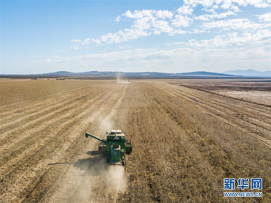 2018年10月19日,收割机在俄罗斯犹太自治州比罗比詹市附近的大豆农场里作业。中国人应峻峰将当地的3000公顷荒地开拓成为大豆种植的良田。新华社记者 张若玄