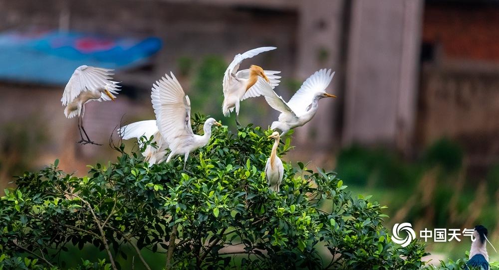 广西来宾象州:古德湿地鹭鸟栖息
