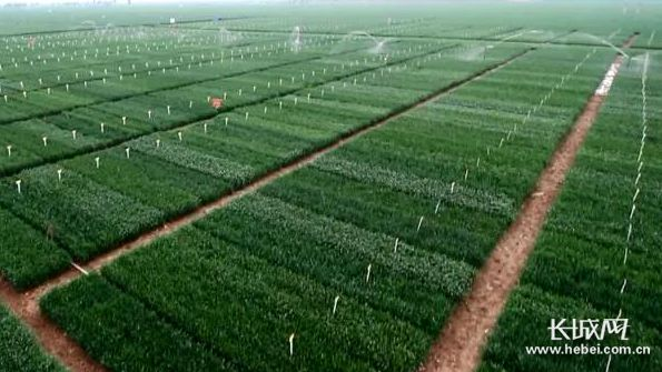 河北近期降温降水过程对冬小麦生长有利