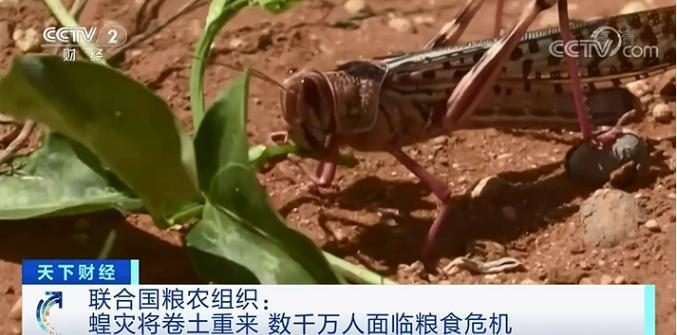 紧急预警!曾侵袭近20个国家的蝗灾,或将卷土重来!超2500万人面临粮食危机…