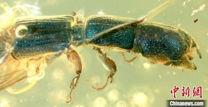 琥珀化石揭秘一亿年前昆虫的真实色彩
