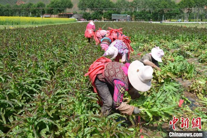 青海贵德:蔬菜产业敲开百姓幸福