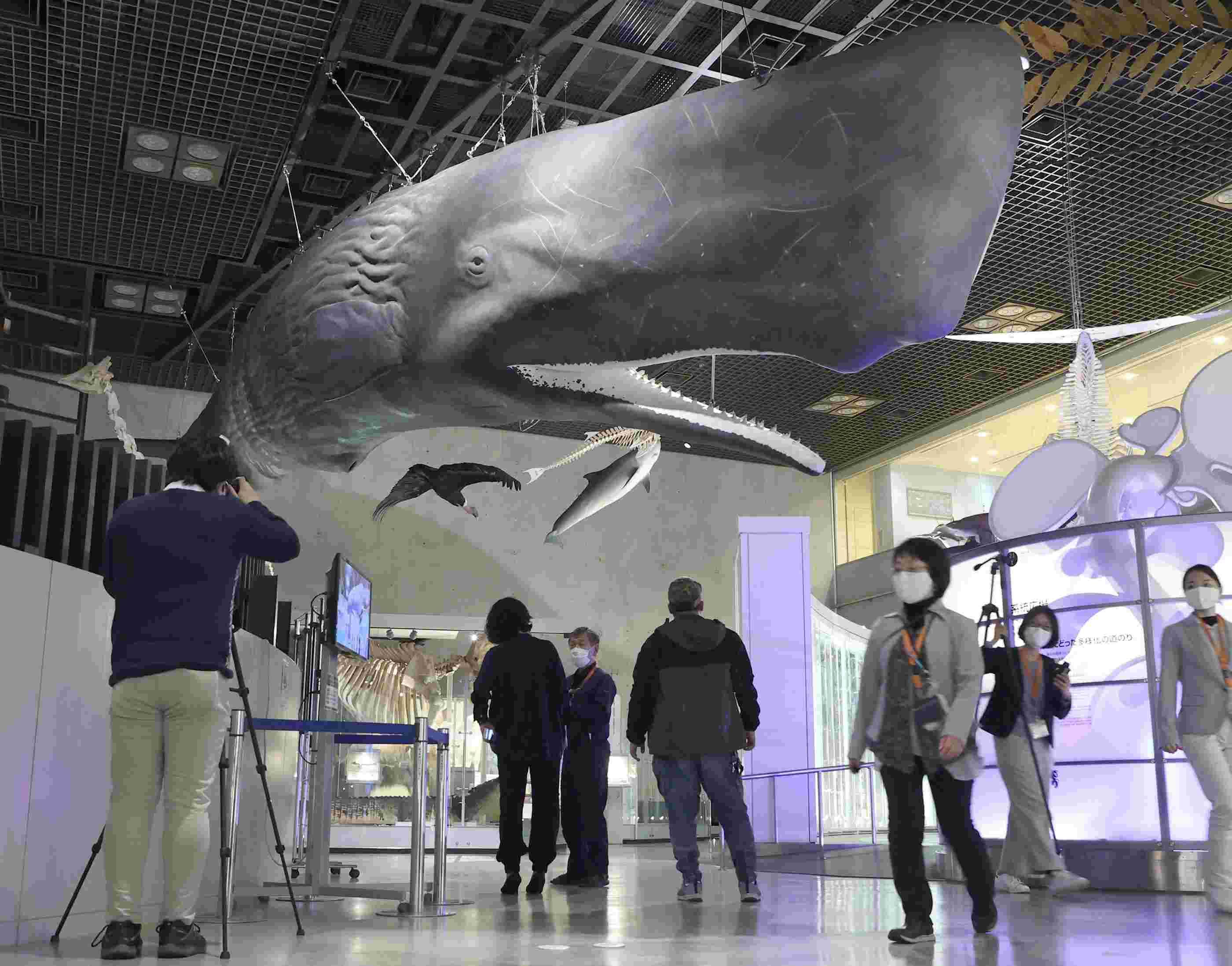 日本国立自然科学博物馆展出抹香鲸标本 长约13.77米