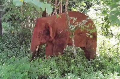 """西双版纳的象医生和""""象爸爸"""""""