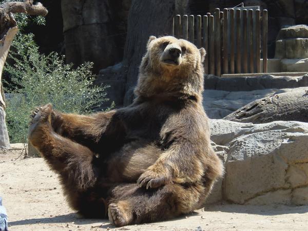 罕见!灰熊袭击山羊不料被反杀:一击致命