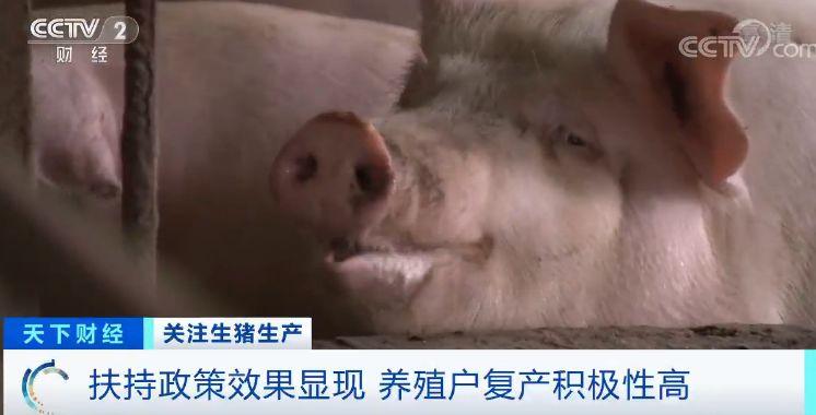 眼下,养殖户敬永保所在的刘营镇生猪存栏量已经恢复到往年水平的80%。目前全镇新增30000平米猪舍,可补栏20000头生猪,预计到今年春节前,该镇的生猪产能就能恢复到往年的平均水平。